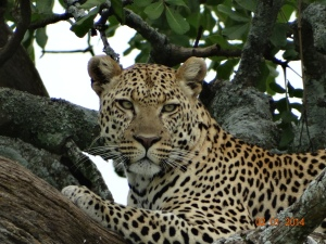 leopard in tree serengeti