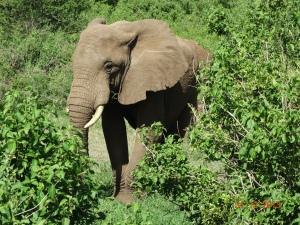 elephant, manyara